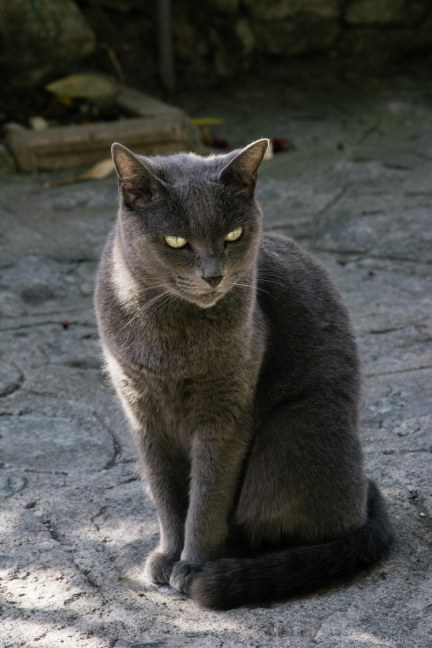 A grey cat is posing in Praiano- Italy